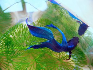betta-splendens-male